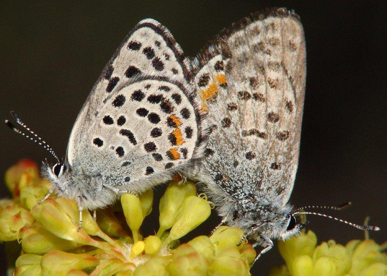Euphilotes sp.