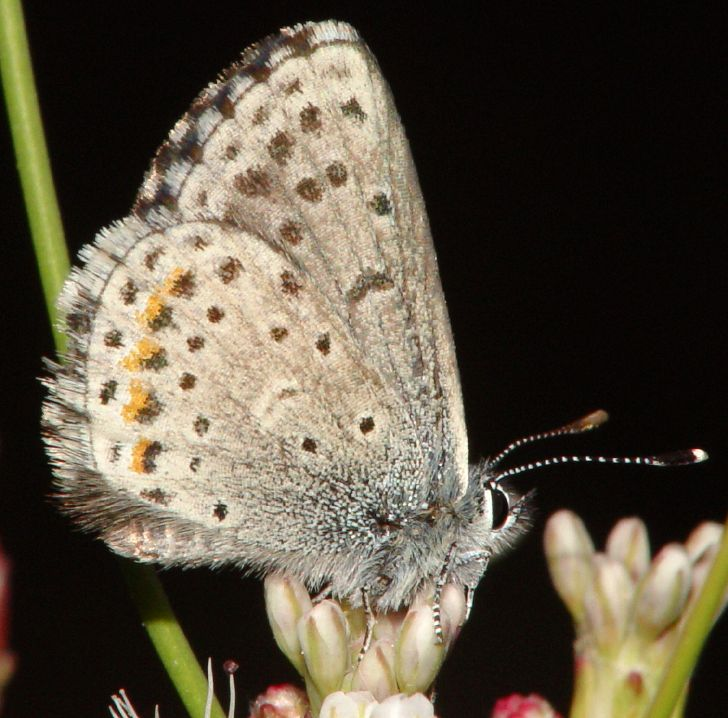 EuphilotesEnoptes.jpg