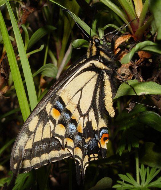 Anise Swallowtail, Papilio zelicaon