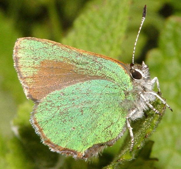Bramble Hairstreak, Callophrys perplexa