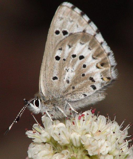 Arrowhead Blue, Glaucopsyche piasus