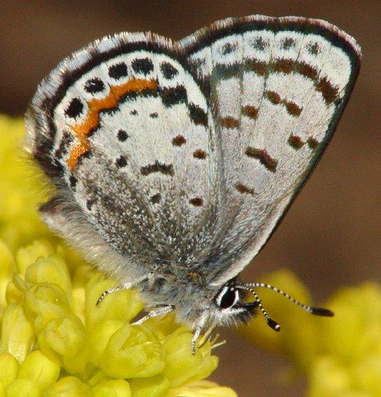 Square-spotted Blue, Euphilotes battoides battoides
